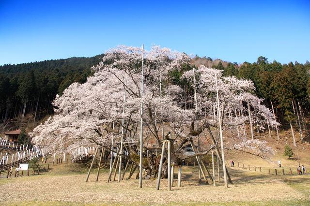 根尾の淡墨桜と桜の名所めぐり